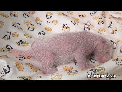 パンダの赤ちゃん 身体検査のため保育器に移される 上野動物園