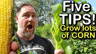 5 Tips How to Grow a Ton of Sweetcorn in One Raised Garden Bed or Container