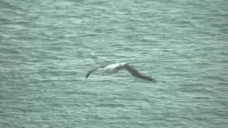 Royal Albatross of New Zealand