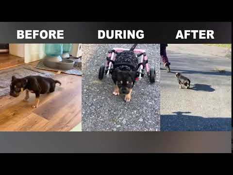 dog wheelchair transformation video