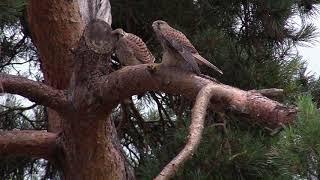 Faucons crécerelles… l'émancipation