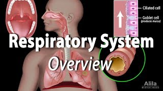 Overview of the Respiratory System, Animation