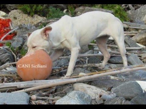Pit Bulla di periferia trova una palla galleggiante