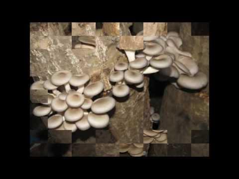 Erba di san Giovanni da un fungo di gambe