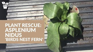 Plant Rescue: Asplenium nidus | Bird's Nest Fern | Fern Care