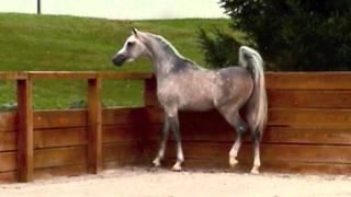 Лошади, Шикарный араб)Прекрасный ролик)