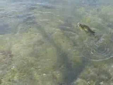 Largemouth Bass at Jamaica Pond