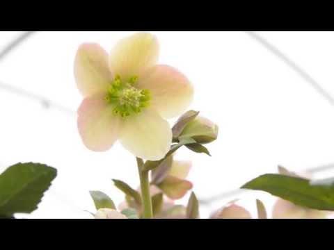 Homeopátiás gyógyszerek a nyaki osteochondrozishoz