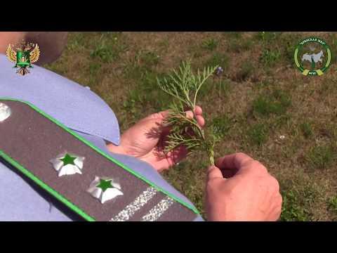 Амброзия полыннолистная - опасный карантинный сорняк