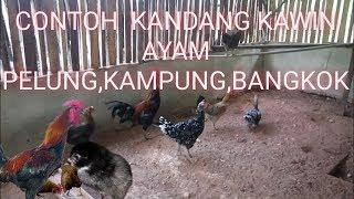 Contoh Kandang Kawin Buat Indukan Ayam Pelung,bangkok,kampung