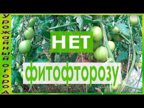 СУПЕР ЭФФЕКТИВНОЕ СРЕДСТВО ОТ ФИТОФТОРОЗА!!!