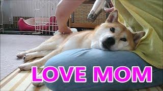 柴犬小春 【挟まれ犬】せまくてもそこが好き!風呂上りお母さんの優しいドライヤーのあとで^^