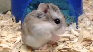 Baby robo hamster is super cute