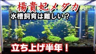 メダカの水槽飼育は難しい?【針病?】楊貴妃メダカ水槽#21