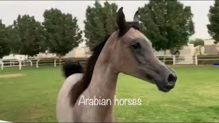 Arabian Horses Filly♥️By Marajj خيل عربي اصيل مهرة عربيه شيخة بنت بطل العالم ميراج