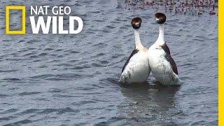 These Birds Have a Sexy but Bizarre Dance Routine | Nat Geo Wild