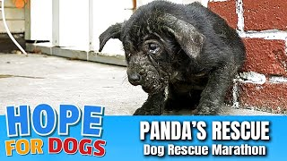 Hope For Paws Rescue Starving Mangy Puppy Named Panda