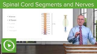 Spinal Cord Segments & Spinal Nerves – Brain & Nervous System   Lecturio