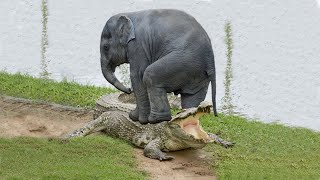 unbelievable Elephant Save Baby Elephant From Crocodile Hunting | Happy Paws