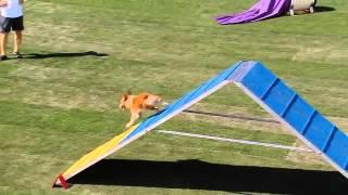 Small Dog Agility - 2013 Purina® Incredible Dog Challenge® Las Vegas