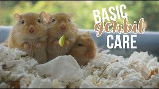 Basic Gerbil Care