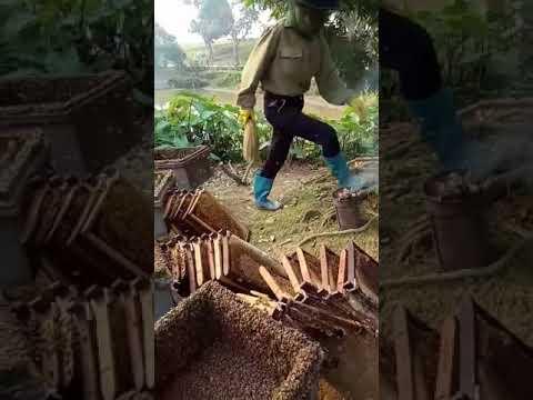 Thu hoạch mật ong hoa nhãn 2018