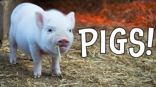 Pigs! Pig Facts and Learning About Pigs for Kids