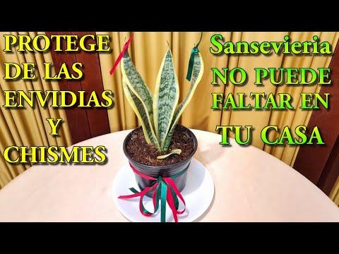 Sansevieria Esta Planta te protege de envidias y chismes. No puede faltar en tu casa y negocio
