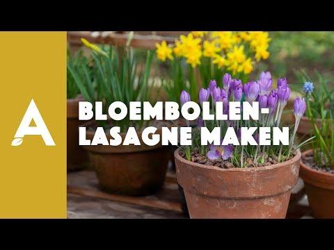 Hoe moet je een bloembollenlasagne maken?