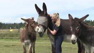 Bringing Your Donkey Home