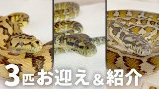 爬虫類イベントで蛇を3匹お迎えしたので紹介します!