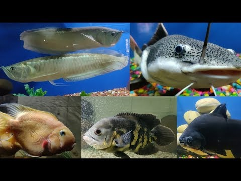 Arowana Fish, Shark Fish, Oscar Fish, Pacu Fish at Dolphin Aquarium