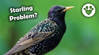 How To Discourage Starlings and other Bully Birds