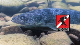 How Close Can You Dive with a Walleye?