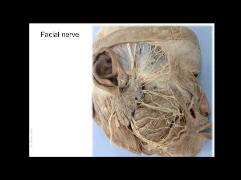 Anatomy of Blood And Nerve Supply Of The Face