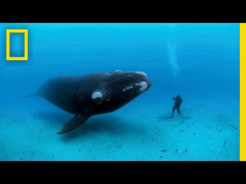 Diving with Whales | Nat Geo Live thumbnail
