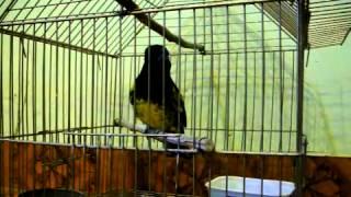 REY DEL BOSQUE  GONSHA 2.MOV - YouTube