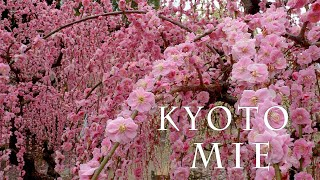 【Plum blossoms】 Weeping plum-trees are in full blossom at Kyoto and Mie 2021.  #城南宮 #結城神社 #北野天満宮 #4K