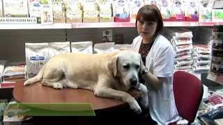 Обработка ушной раковины у собак