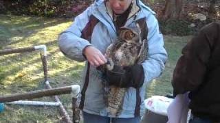 Great Horned Owl trapped in soccer net rescued