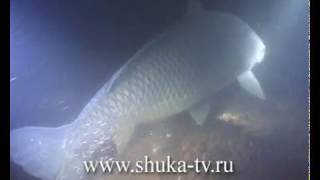 Сазан Carp underwater