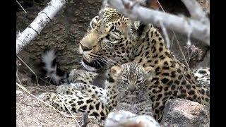 Thandi and her cubs. Safari Live 09 November 2019