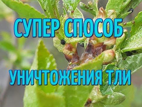 Тля на плодовых деревьях. Супер способ уничтожение тли, не применяя химические средства.
