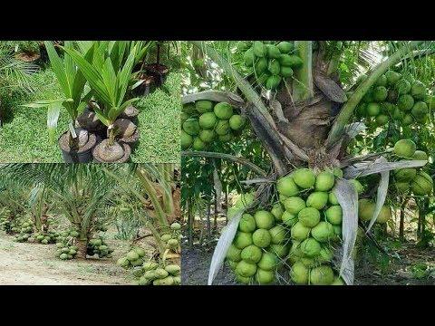 ভিয়েতনামের খাটো জাতের ম্যাজিক নারিকেল গাছে ২ থেকে ২.৫ বছরে ফল ধরবে। Magic Coconut Tree