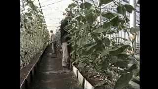 Смотреть онлайн Как выращивать огурцы в теплице