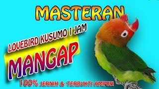MASTERAN LOVEBIRD KUSUMO NGEKEK PANJANG KONSLET MANGAP MANGAP - 1jam