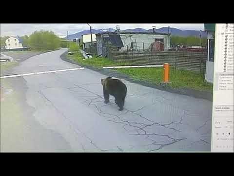На Камчатке медведь без пропуска сегодня прошёл через КПП в аэропорту