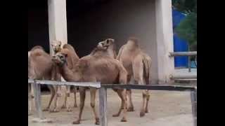 preview picture of video 'The twins ride camels in Mazotos,Cyprus'