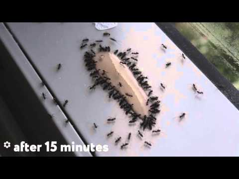 Video ANT GEL is the best way to kill ants. TIMELAPSE.