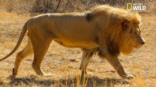 Qui Sera Le Mâle Dominant Parmi Les Trois Frères Lions ?